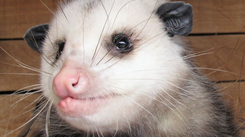 All About Possums North Carolina S Official Marsupial Avltoday